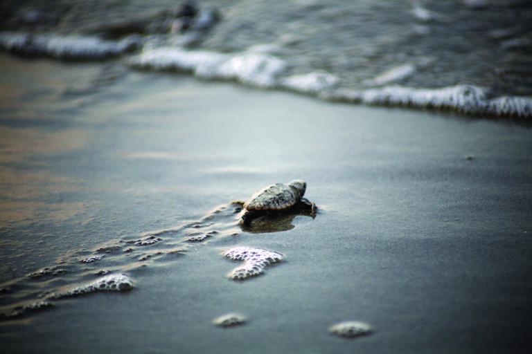 Turtle Hatchling BHI